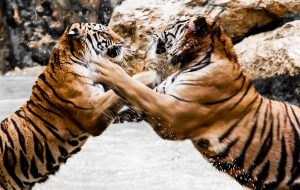 fighting-tigers